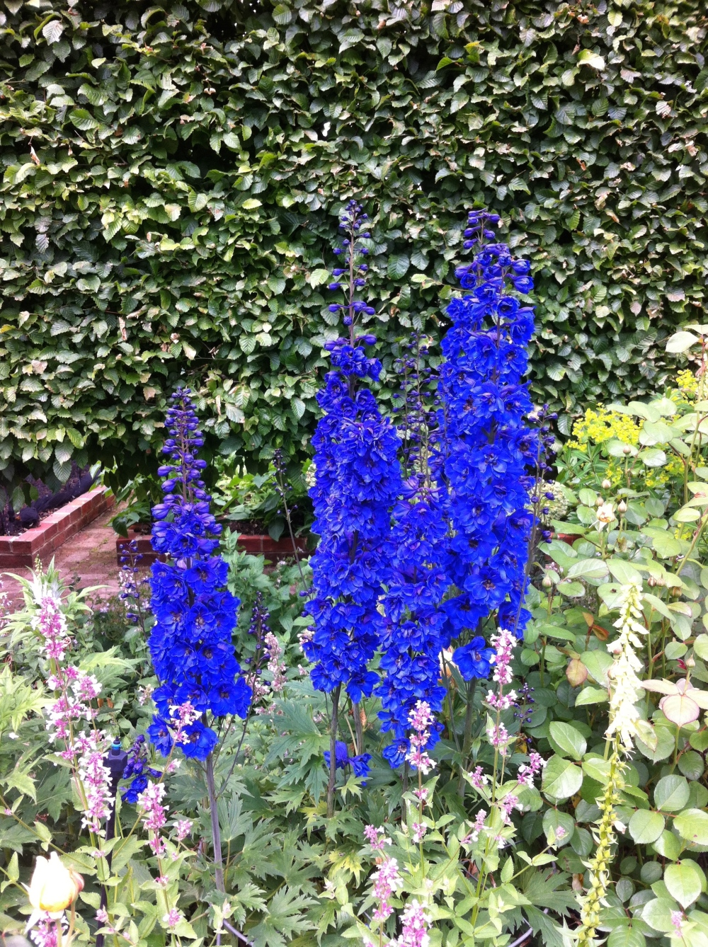 Delphiniums sown in Autumn may flower in their first season.