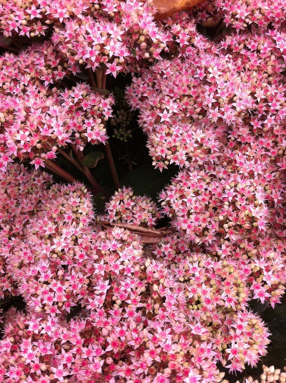 Sedum Ice plant