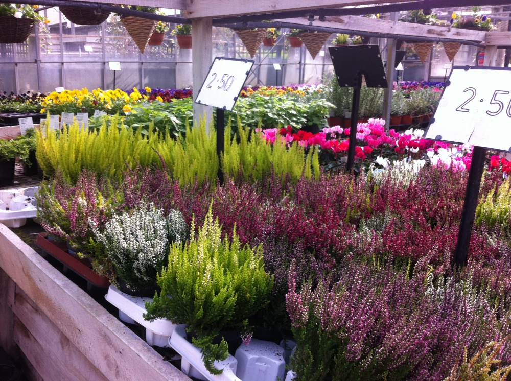 Winter bedding plant shopping
