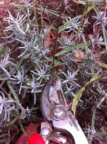 Deadhead lavender
