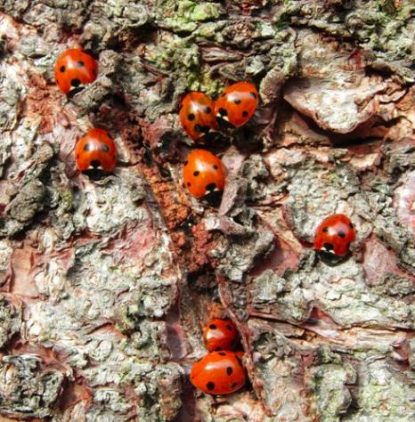 Ladybirds feeding