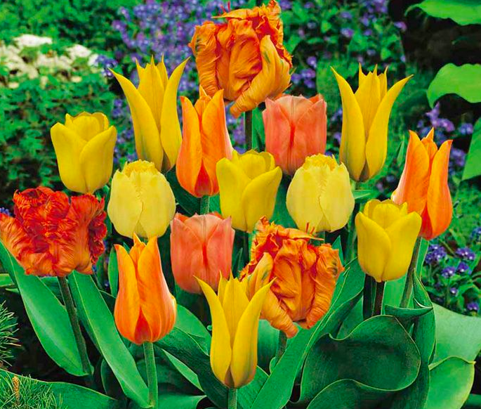 Designer Tulips Orange collection