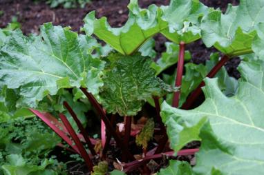Divide rhubarb