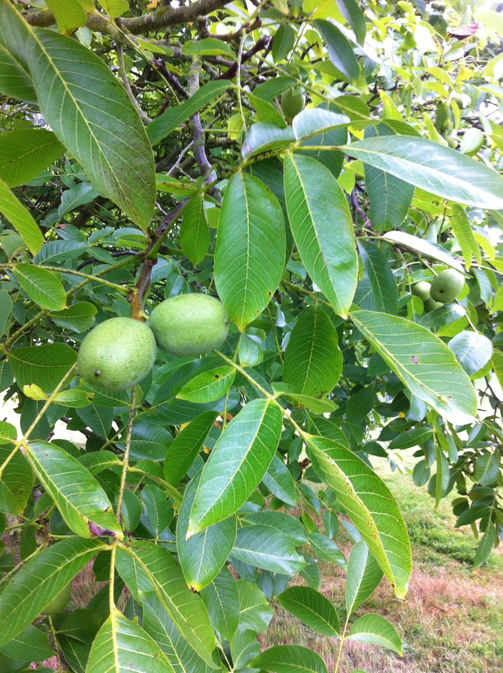 Once a Walnut tree reaches maturity you can expect a heavy crop every year.