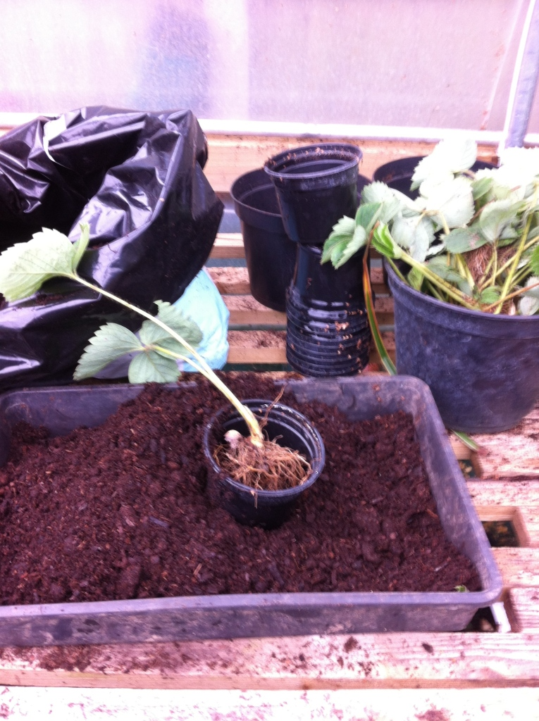 Potting up strawberries
