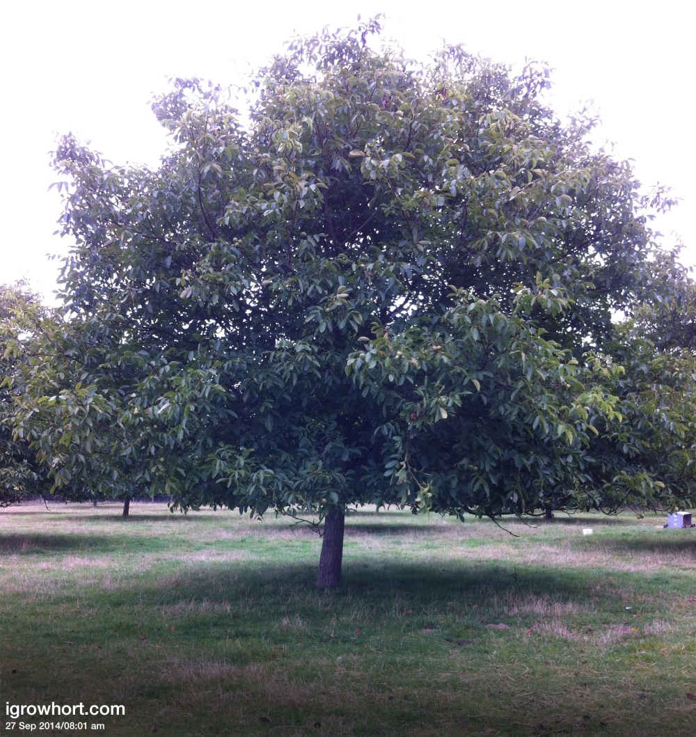Our Walnuts paddocks consist of 40 trees in two varieties