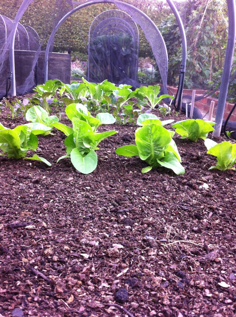 Grow fresh salad leaves all year round with succession planting.