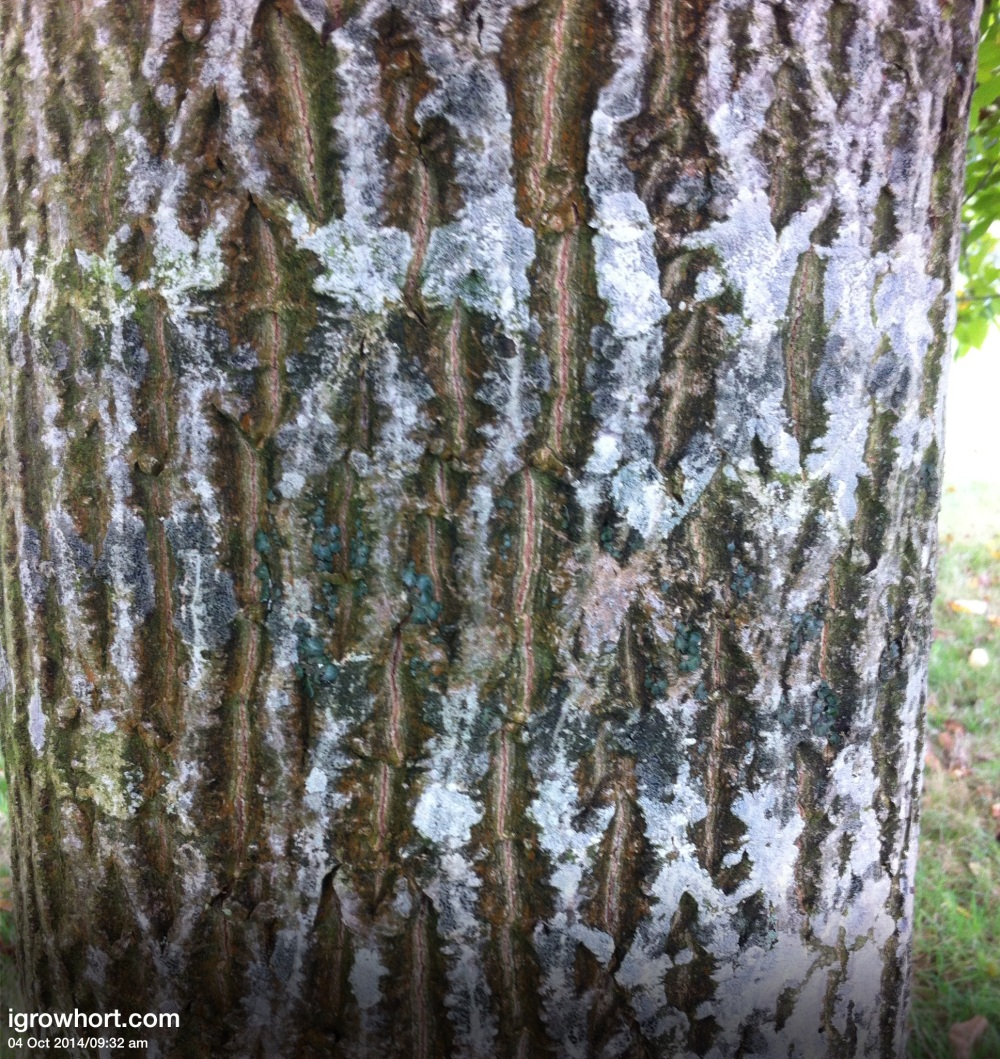 Walnut bark is very distinctive