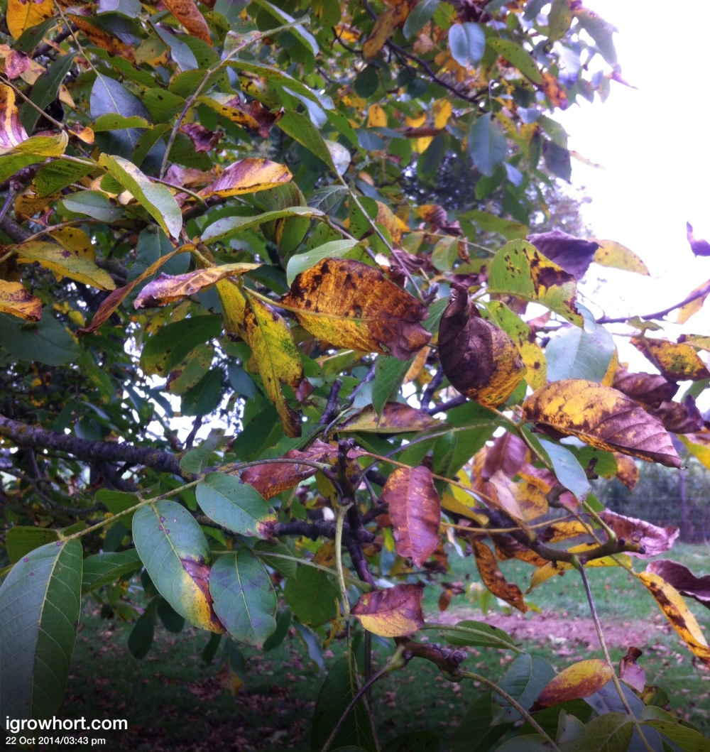 Walnut season lasts 4-6 wks as the leaves begin to fall the last of the Walnuts will drop to the ground.