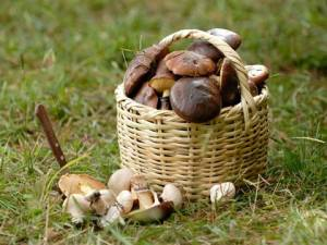 Basket Bolete Mushrooms