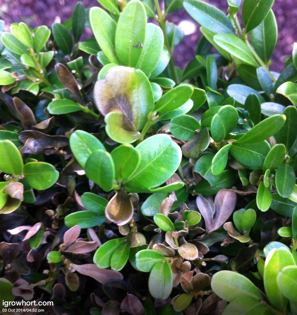 Buxus Box Blight