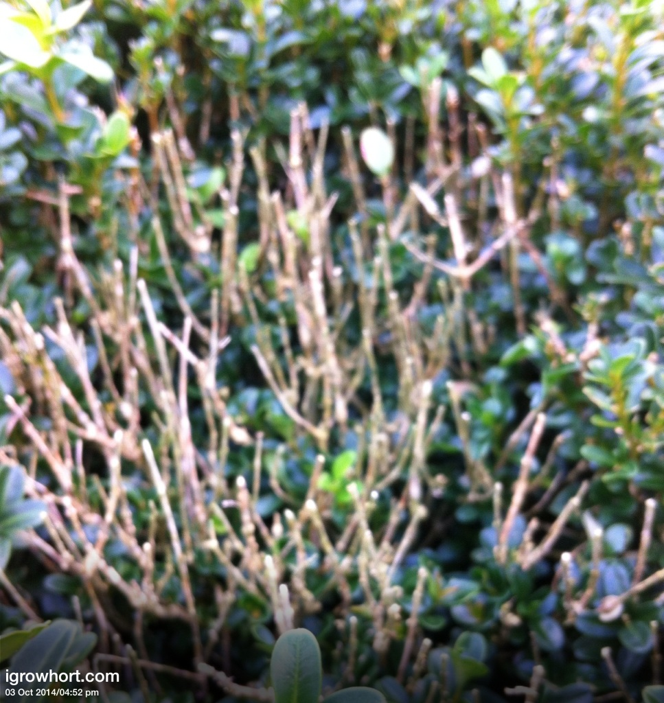 Buxus sempervirens Box Blight