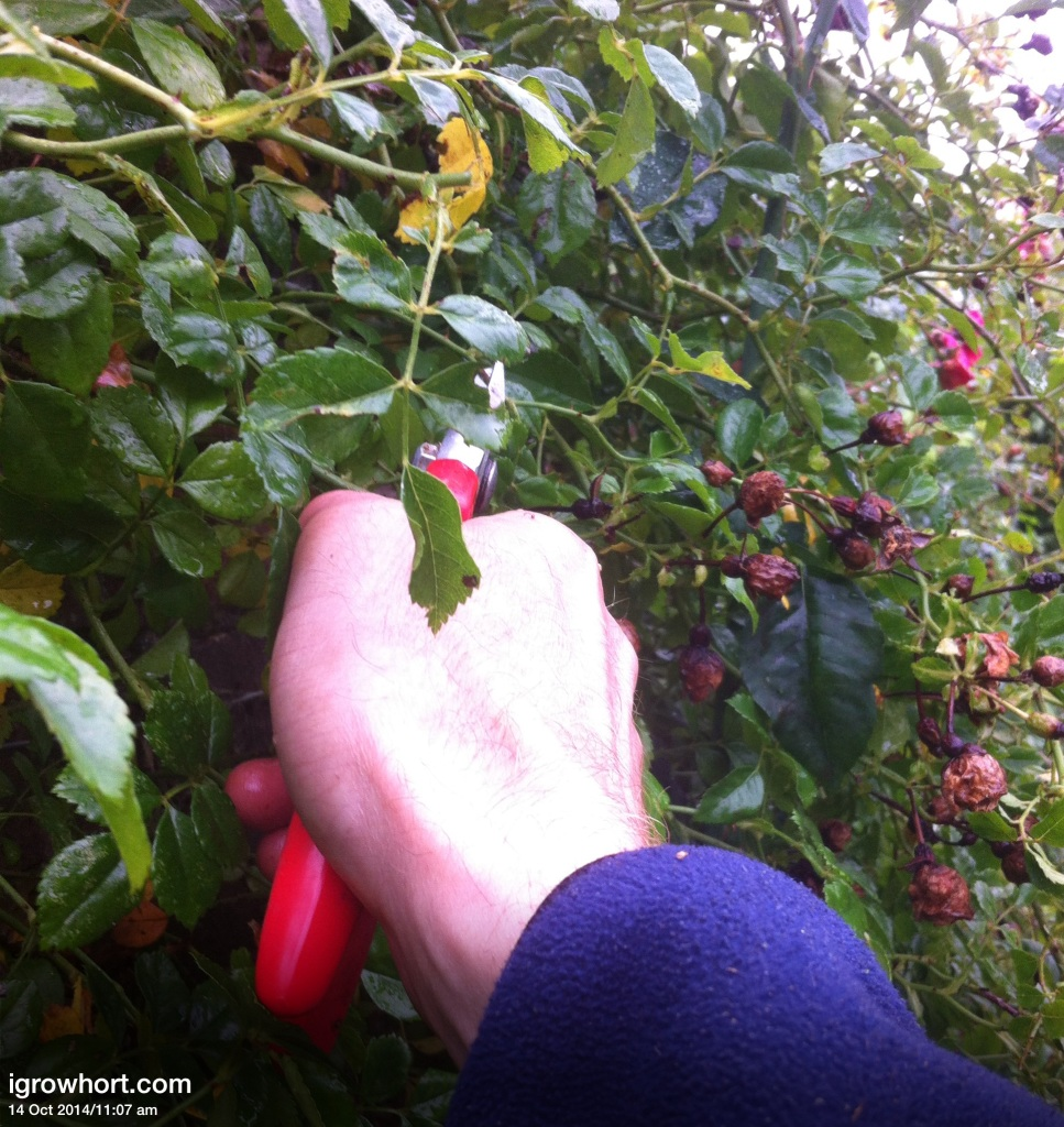 Pruning roses and removing dead, diseased and damaged stems will help reduce overwintering pests and diseases.