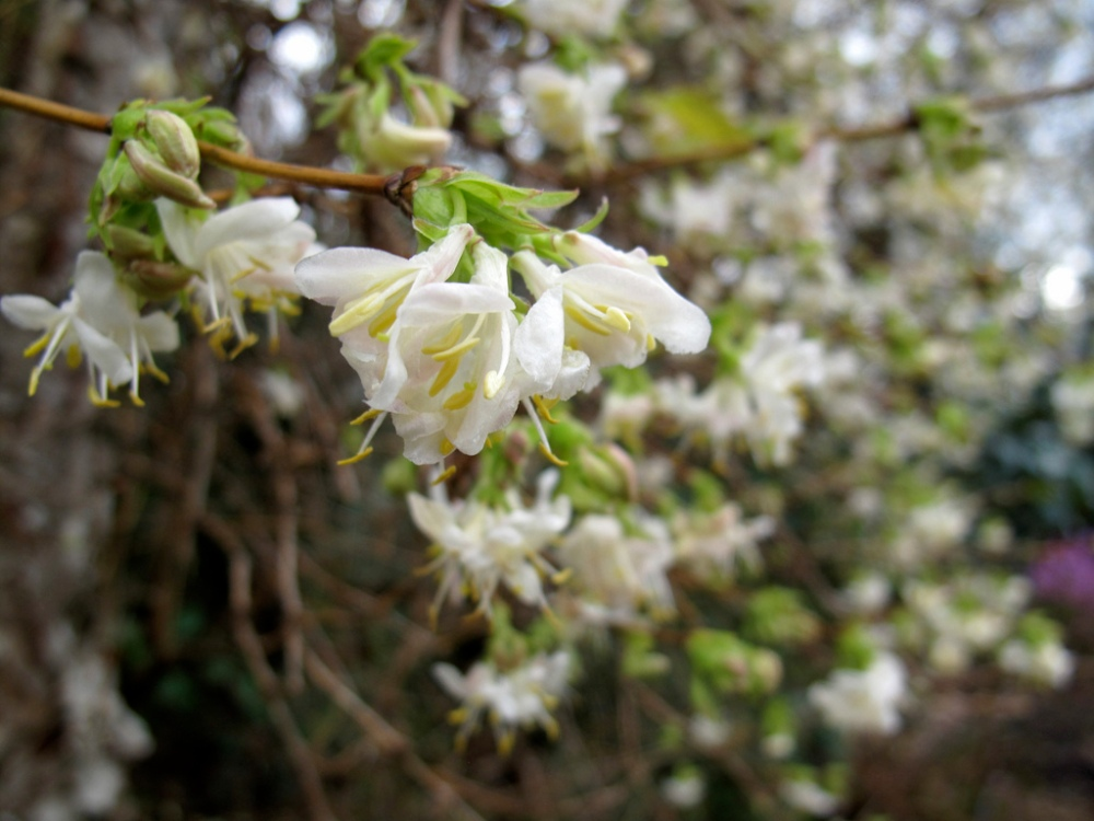 lonicera-x-purpusii-winter-beauty