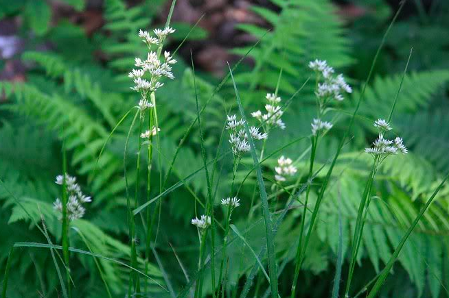 Lazuli makes a stunning grassy sedge flowered, free flowing perennial that loves to spread quickly and makes a great contract with ferns and Aquilegia. Available here for just 99p.