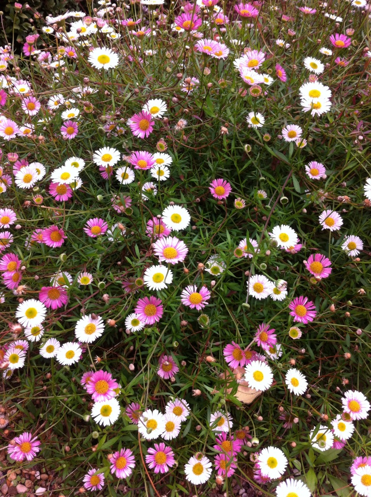 """Erigeron 'Profusion"""" is a fantastic carpet spreading, long flowering sun loving perennial that makes a neat edge to any border or pathway, Buy here for just 99p."""