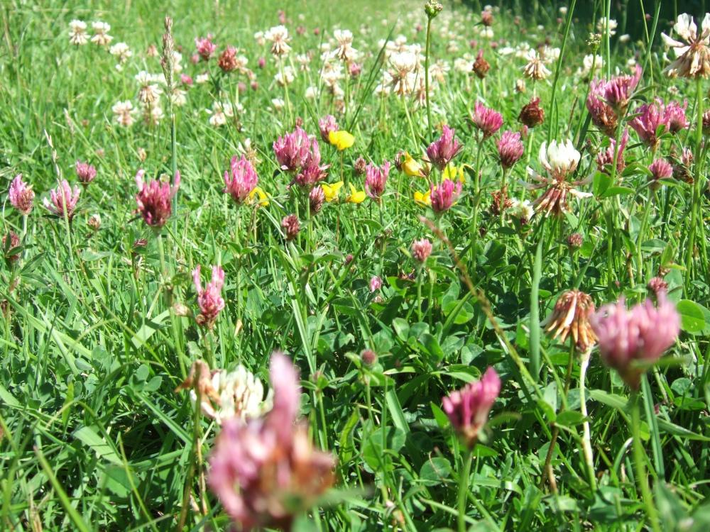white clover, red clover, bird's-foot trefoil at Bradley Meadow