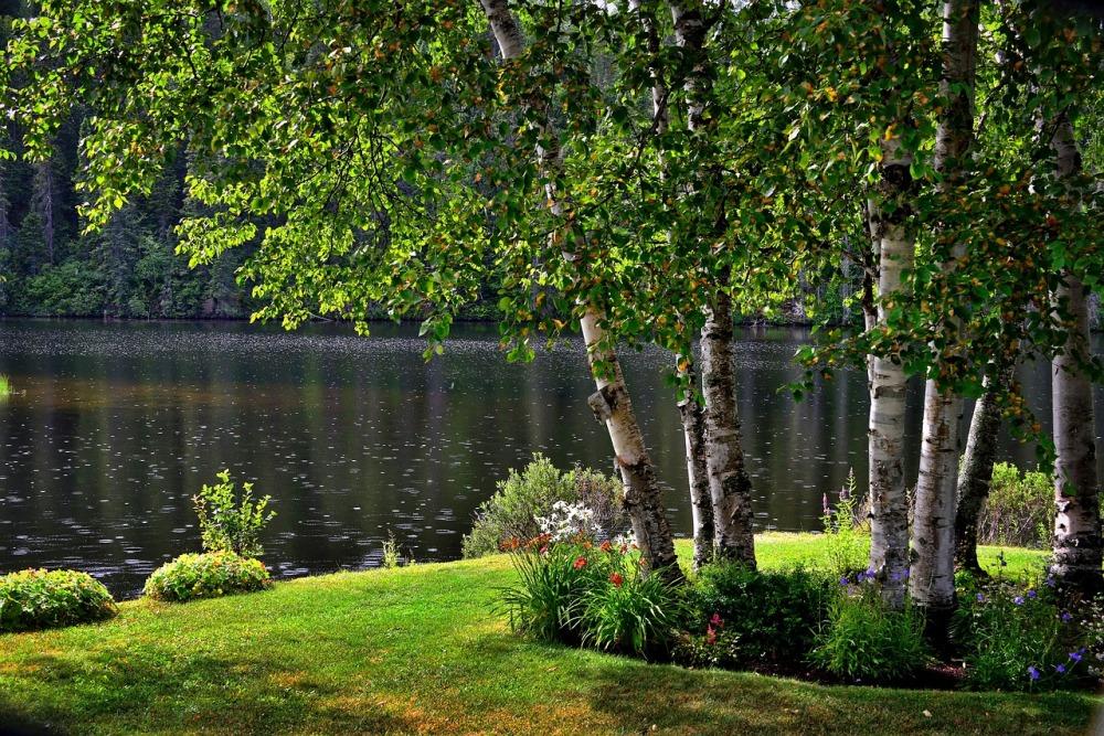 garden-birch