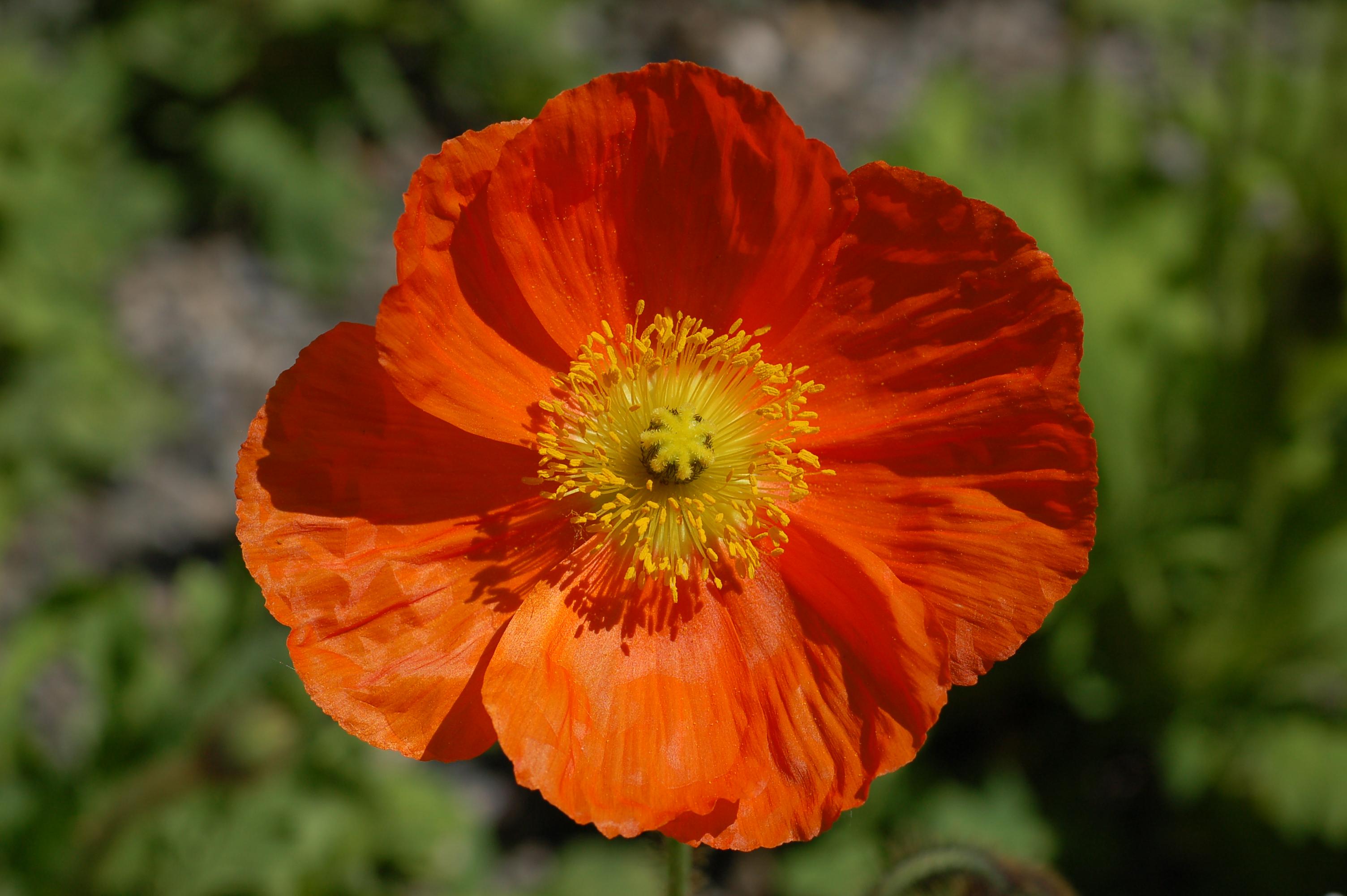 Iceland_Poppy_Papaver_nudicaule_'Champagne_Bubbles'_Orange_Flower