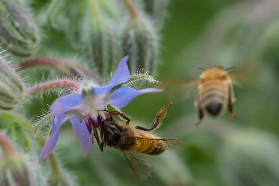 bees on borage