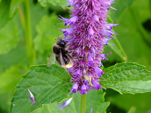 bees on hyssop