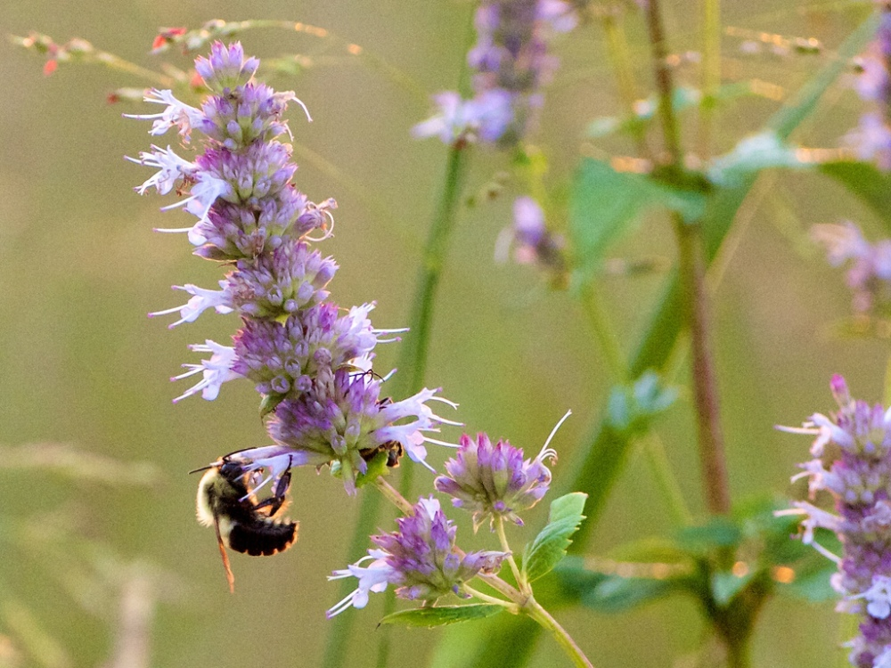 Bumble bee on Agastache