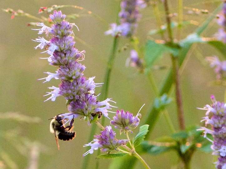 Bumble honey and solitary bees depend on you choosing the for Agastache cuisine