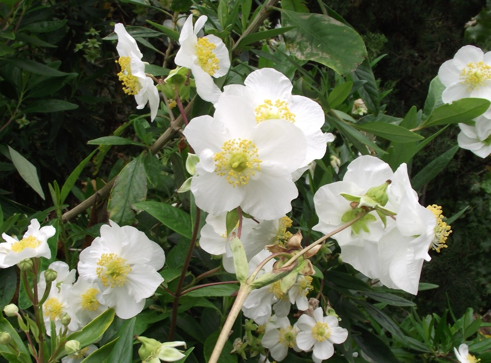 Carpenteria californica igrowhort