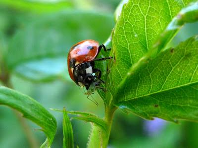 ladybird igrowhort