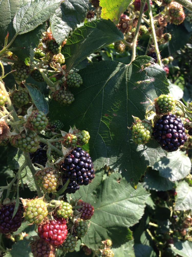 Grow Your Own Wild Blackberries or Thornless Cultivar.