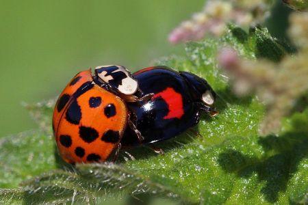 harlequin_ladybirds_harmonia_axyridis_mating_2