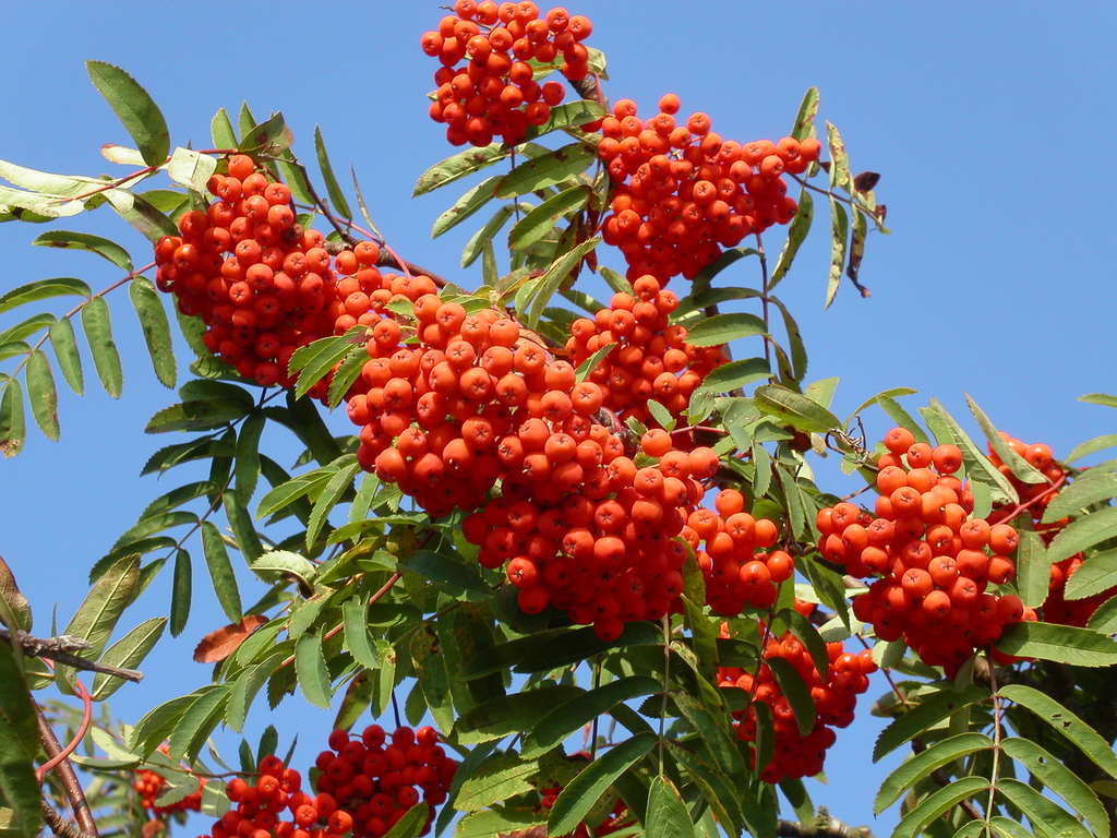 rowan-magical-berries