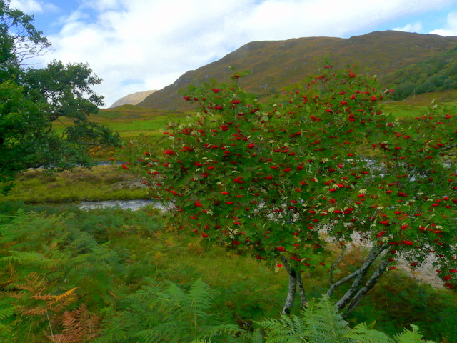 rowan-mountain-tree