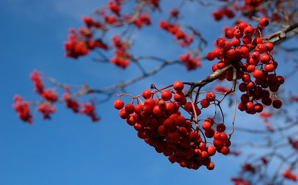 rowan-tree-mountain-ash-fruit