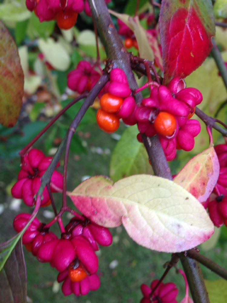 European Spindle Tree Outshines Amongst the Natives