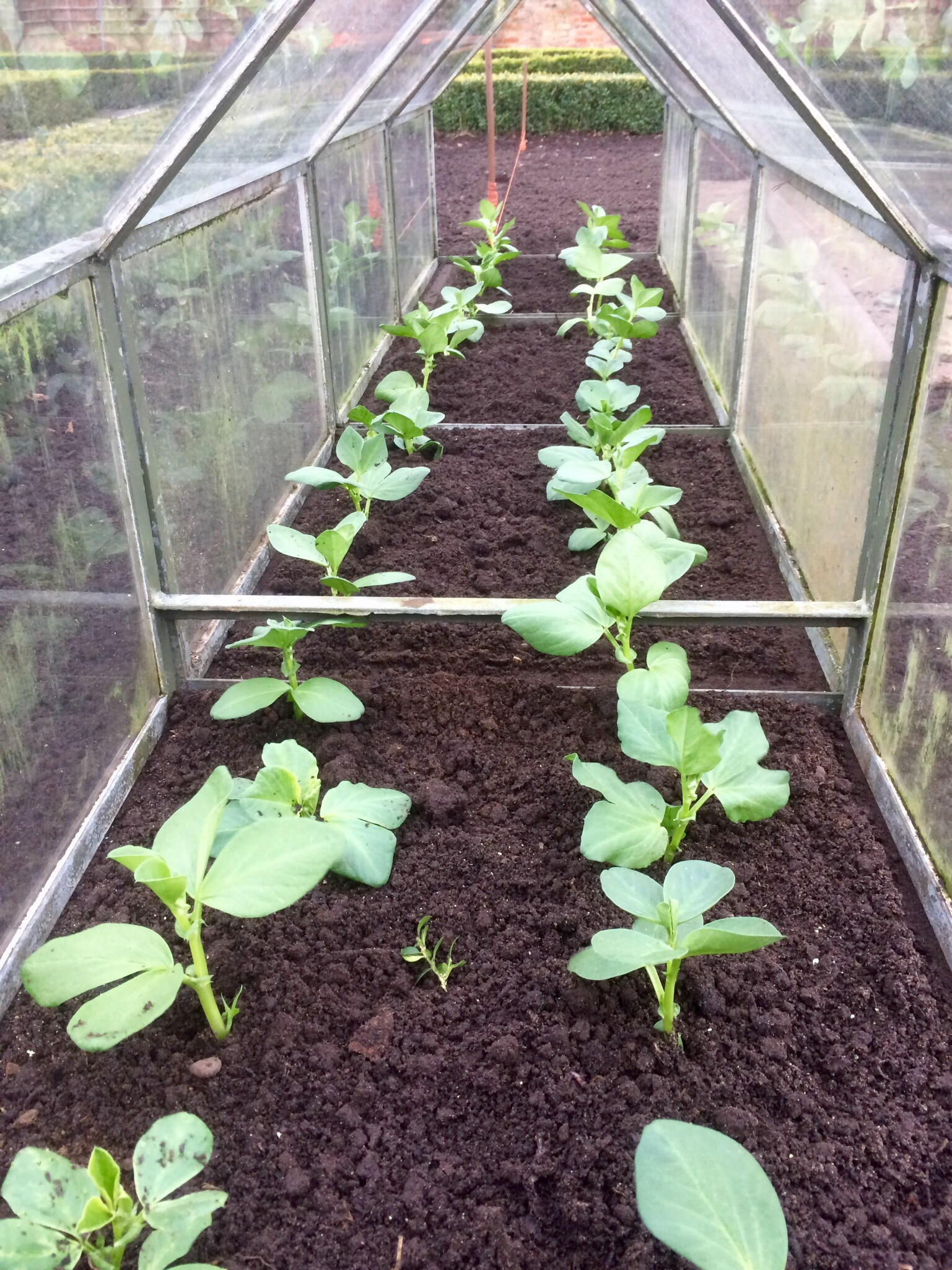 How to Grow to Love Broad Beans