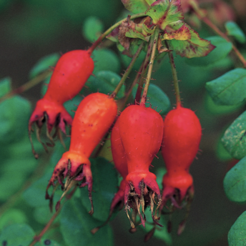 geranium-moyesii