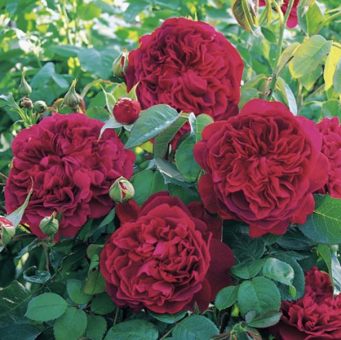 shakespeare-rose
