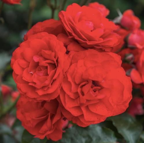 trumpter-rose