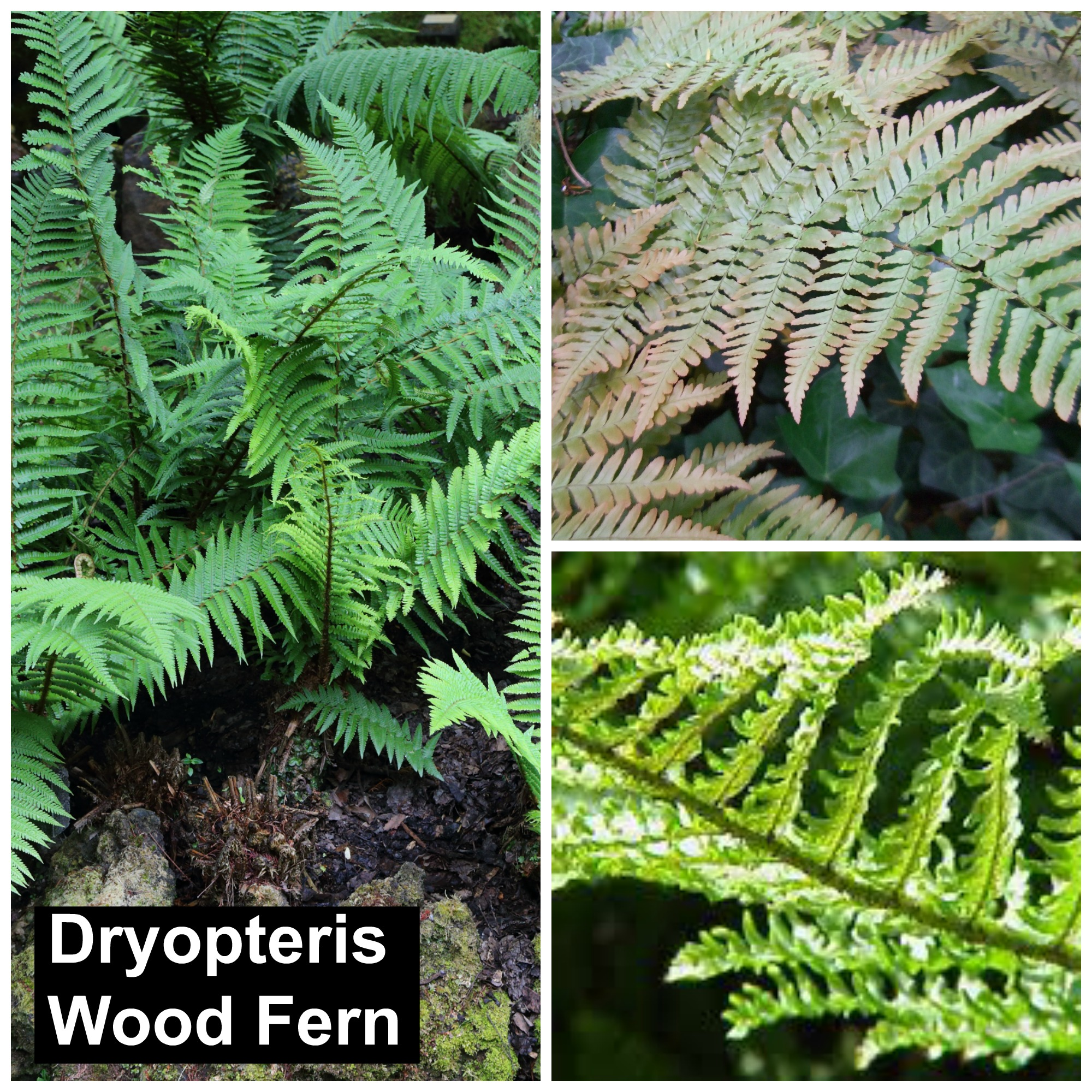 dryopteris wood fern