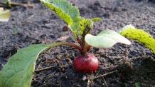 baby radish