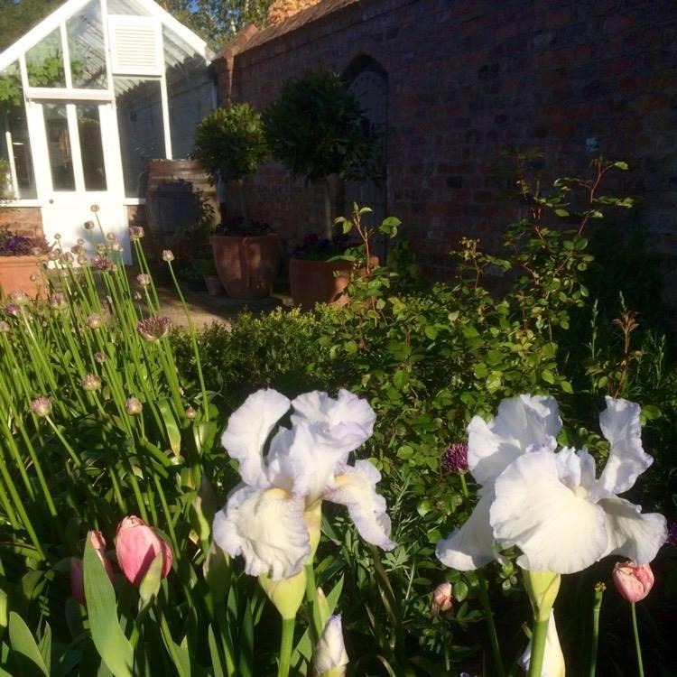 iris frills garden chat garden tags igrowhort glasshouse