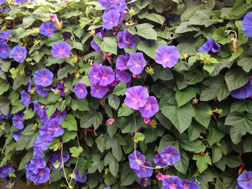 blue-flowers-morning-glory