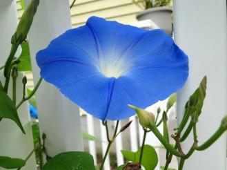 blue-ipomoea-igrowhort