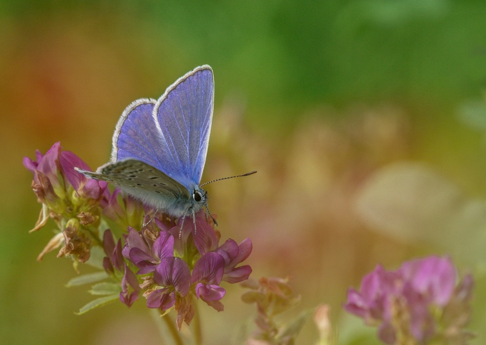common-blue-polyommatus icarus