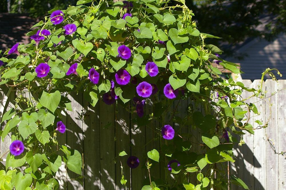 morning-glory-vine-seeds-igrowhort