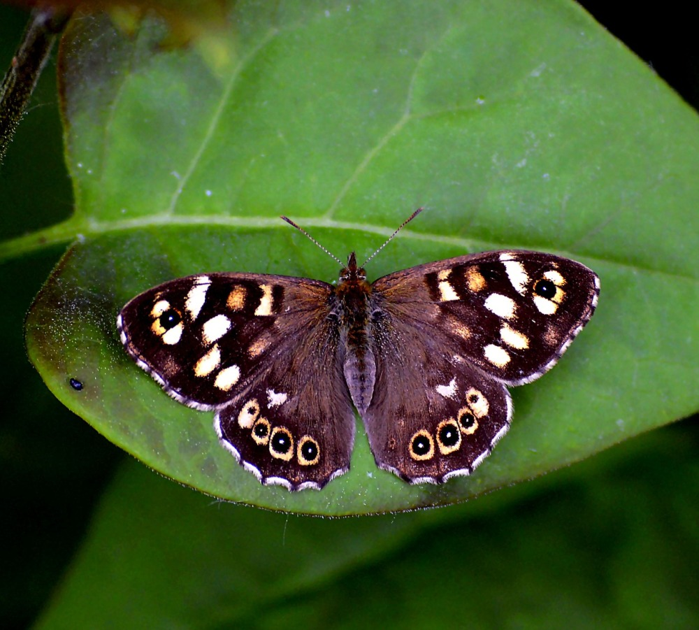 speckled-wood-butterfly-igrowhort