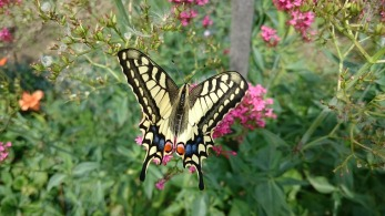 swallowtail butterfly-papilio machaon